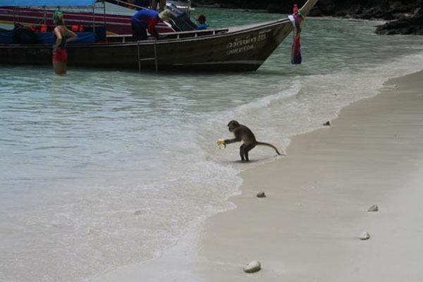 monkey_in_the_sea_ko_phi_phi_2