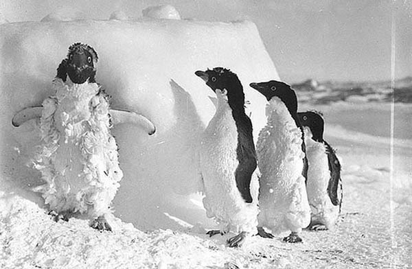 ice cased Adelie penguins
