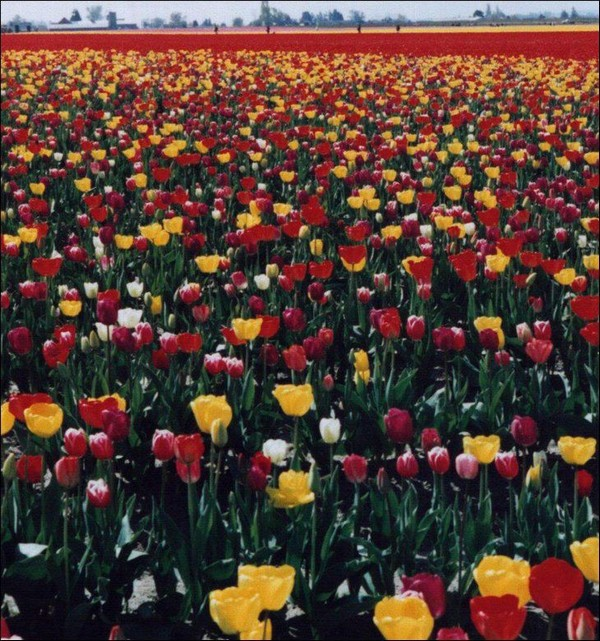 tulips Holland Tourism on the edgee15