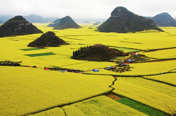 Canola Flower Fields China landscape